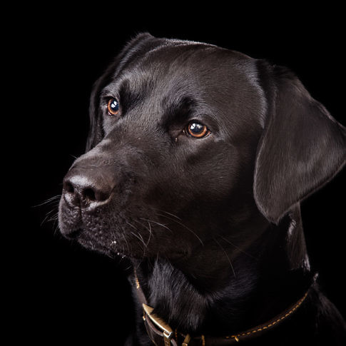 Dog Portraits - Black Labrador