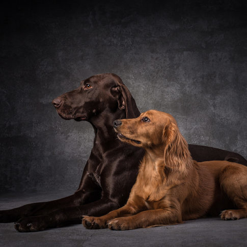 Dog Portraits - Cocker Spaniel and German Short Haired Pointer